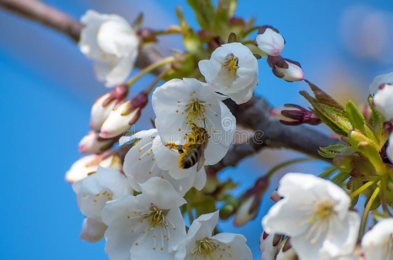 Uma abelha recolhe o pólen para o cobre de um ramo da flor de cerejeira branca fotografia de stock