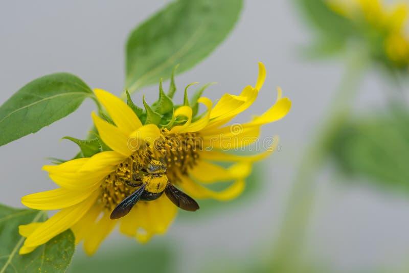 Uma abelha tropeçar em um girassol foto de stock royalty free