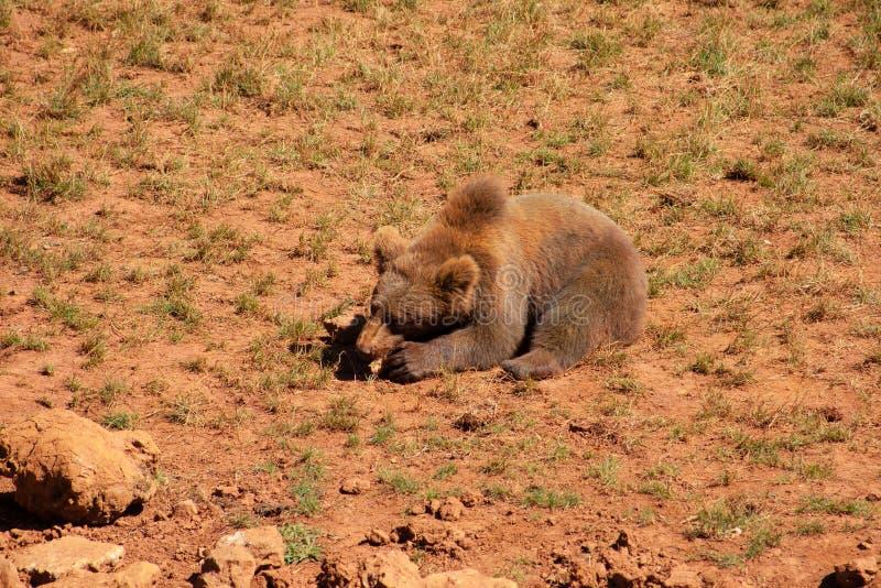 Uma alimentação bonita dos arctos do Ursus do urso marrom imagens de stock royalty free