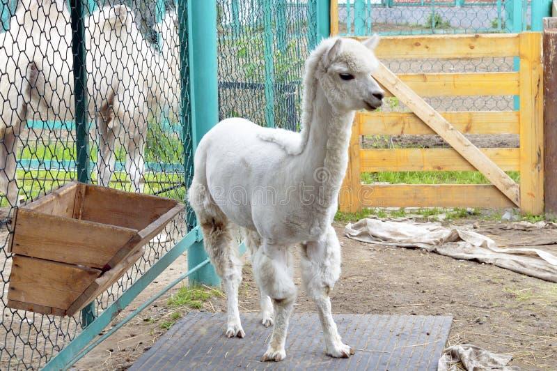 Uma alpaca nova, branco-de cabelo zoo fotos de stock