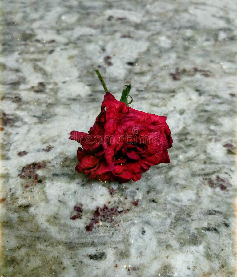 Uma apresentação estética de uma rosa vermelha desvanecida bonita com um fundo cinzento do granito imagens de stock royalty free