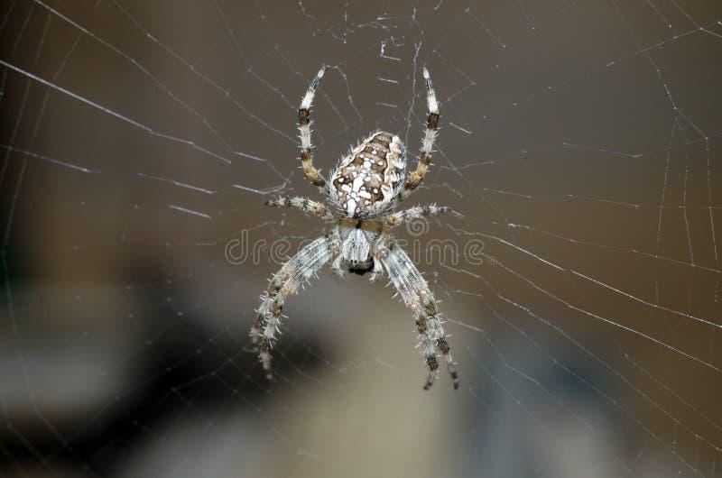 Uma aranha de jardim foto de stock royalty free
