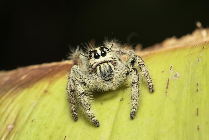 Uma aranha de salto imagem de stock