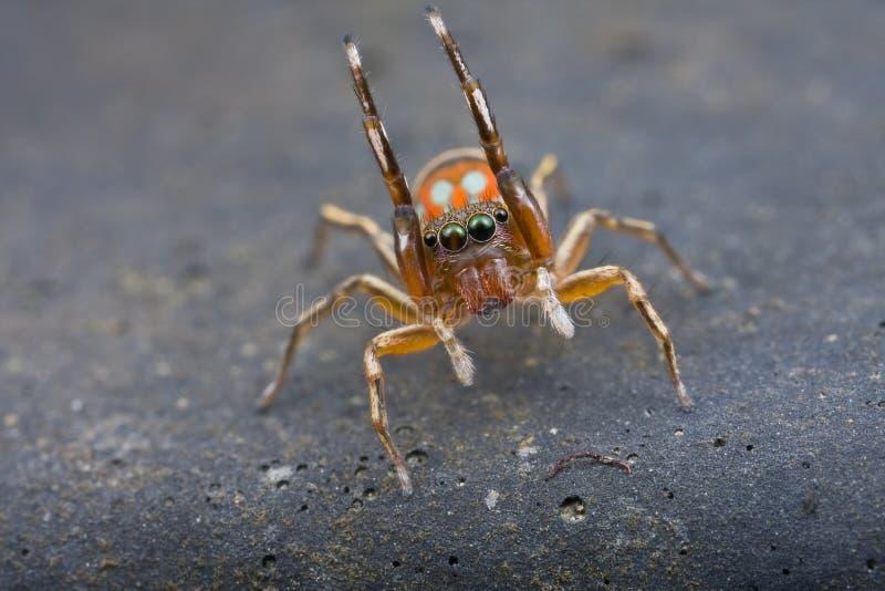 Uma aranha de salto do silder fotografia de stock royalty free