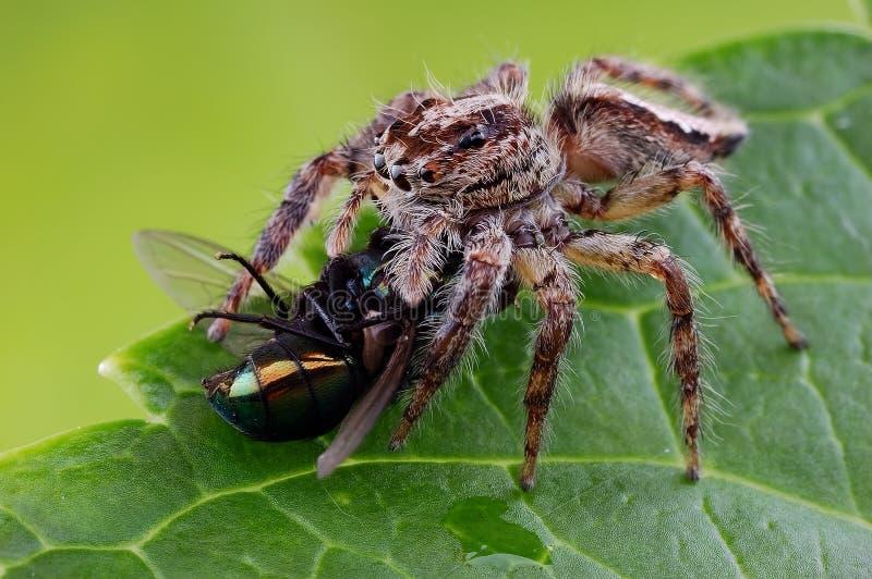 Uma aranha do salto imagens de stock