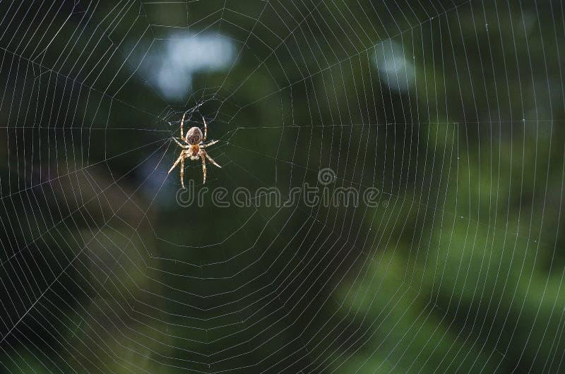 Uma aranha em uma teia de aranha em antecipação ao alimento 1 foto de stock royalty free