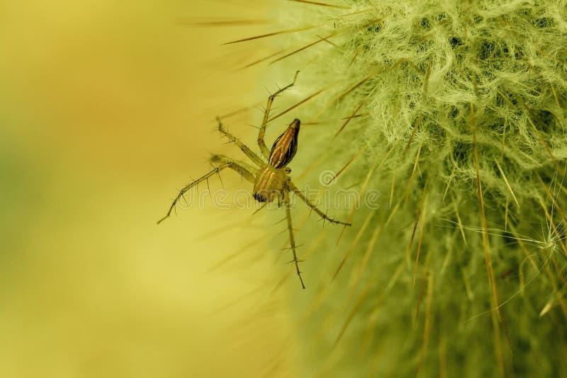 Uma aranha marrom pequena está andando em um cacto imagens de stock