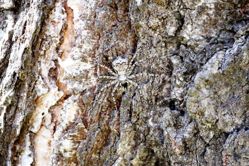 Uma aranha mascarada em couros crus do close-up como um espião na casca de uma árvore imagens de stock