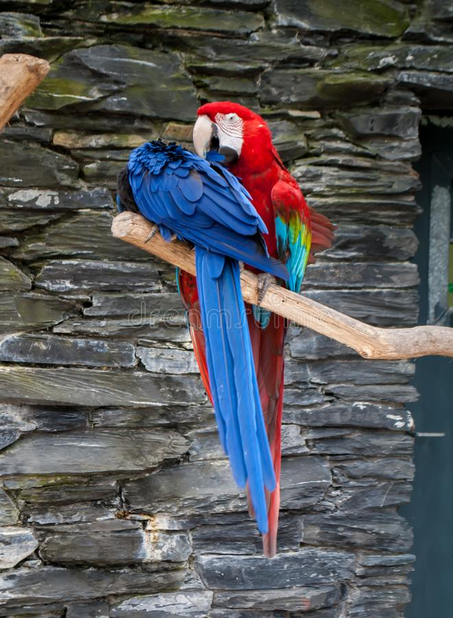 Uma arara azul do papagaio, aros macao, e um papagaio vermelho das aros da arara, sentando-se no ramo de árvore fotos de stock royalty free