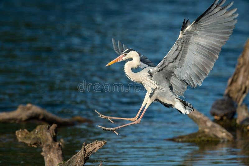 Uma aterrissagem de Grey Heron em uma madeira na água imagens de stock