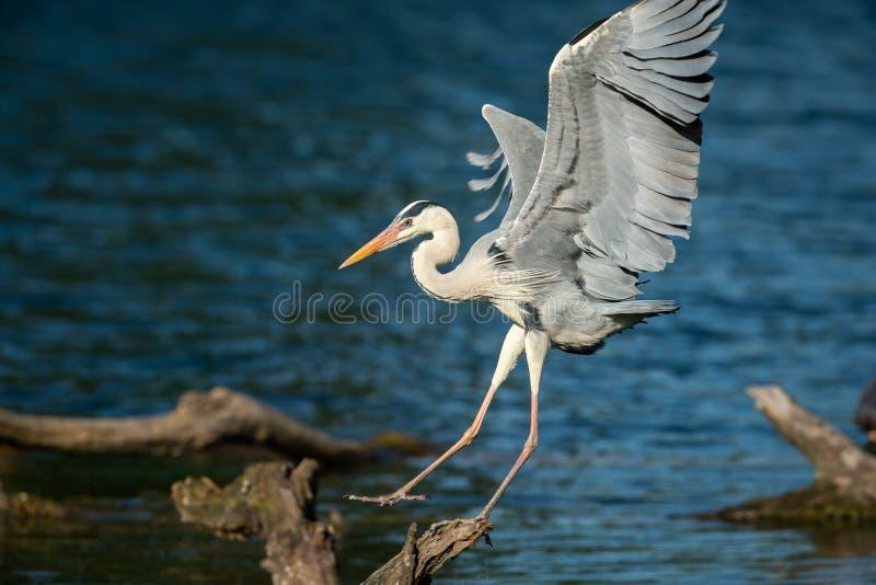 Uma aterrissagem de Grey Heron em uma madeira na água foto de stock royalty free