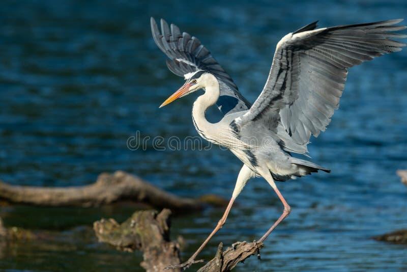 Uma aterrissagem de Grey Heron em uma madeira na água imagem de stock