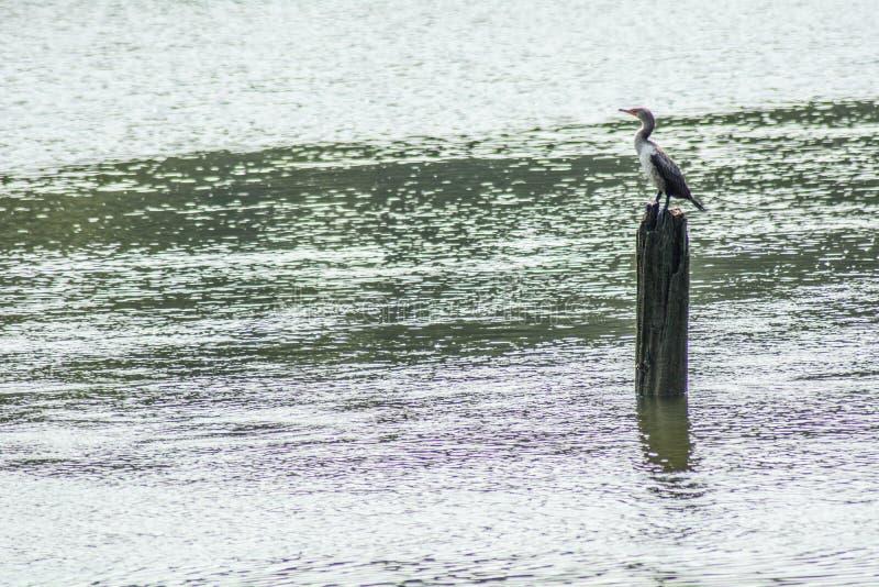Uma ave marinho empoleira-se em um fundamento velho do cais fotografia de stock
