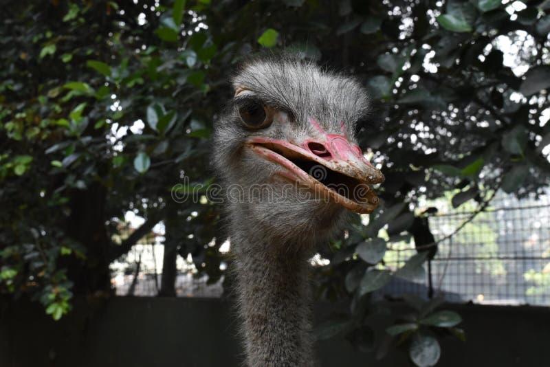 Uma avestruz em jardins zoológicos, Dehiwala Colombo, Sri Lanka imagens de stock royalty free