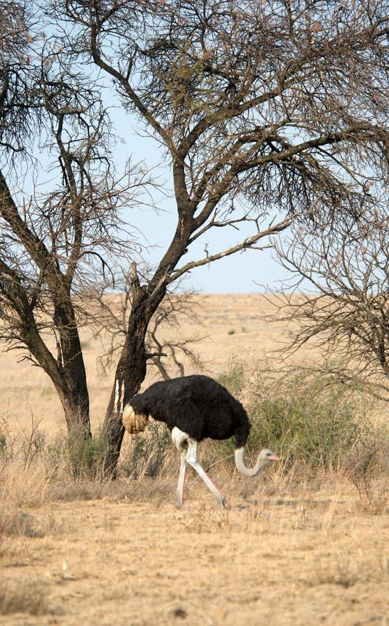 Uma avestruz masculina no selvagem, África do Sul imagem de stock royalty free