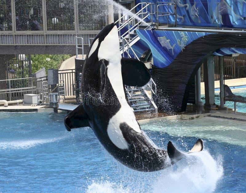 Uma baleia de assassino executa em uma mostra de Oceanarium imagens de stock