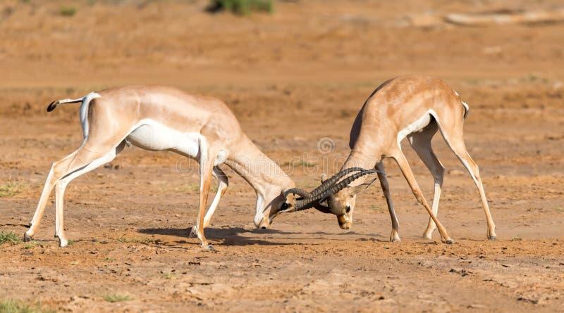 Uma batalha de dois Grant Gazelles no savana de Kenya imagem de stock