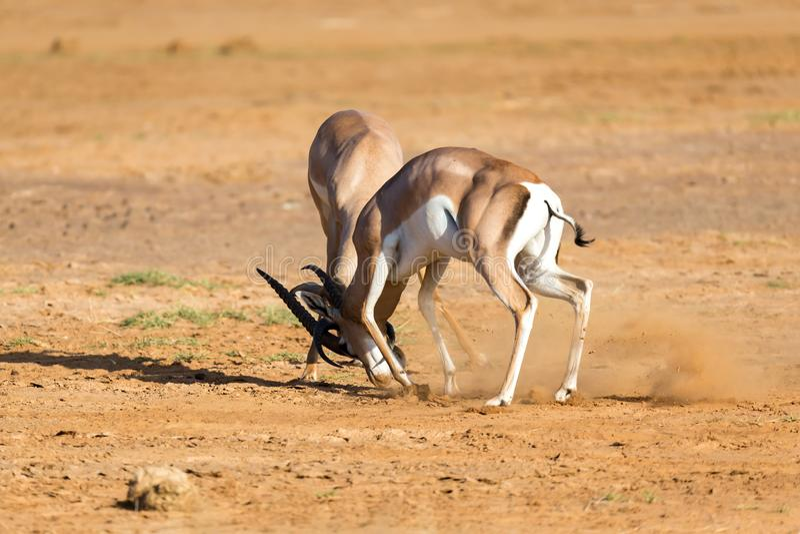 Uma batalha de dois Grant Gazelles no savana de Kenya foto de stock royalty free