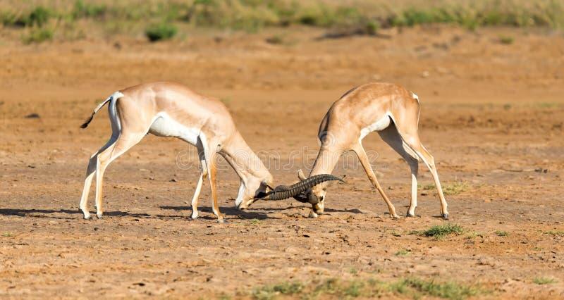Uma batalha de dois Grant Gazelles no savana de Kenya imagens de stock