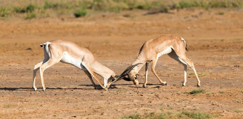 Uma batalha de dois Grant Gazelles no savana de Kenya foto de stock