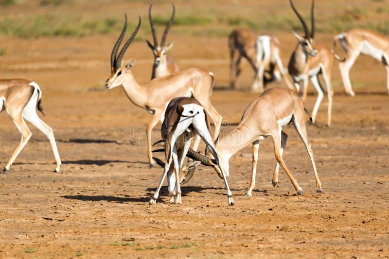 Uma batalha de dois Grant Gazelles no savana de Kenya fotografia de stock royalty free