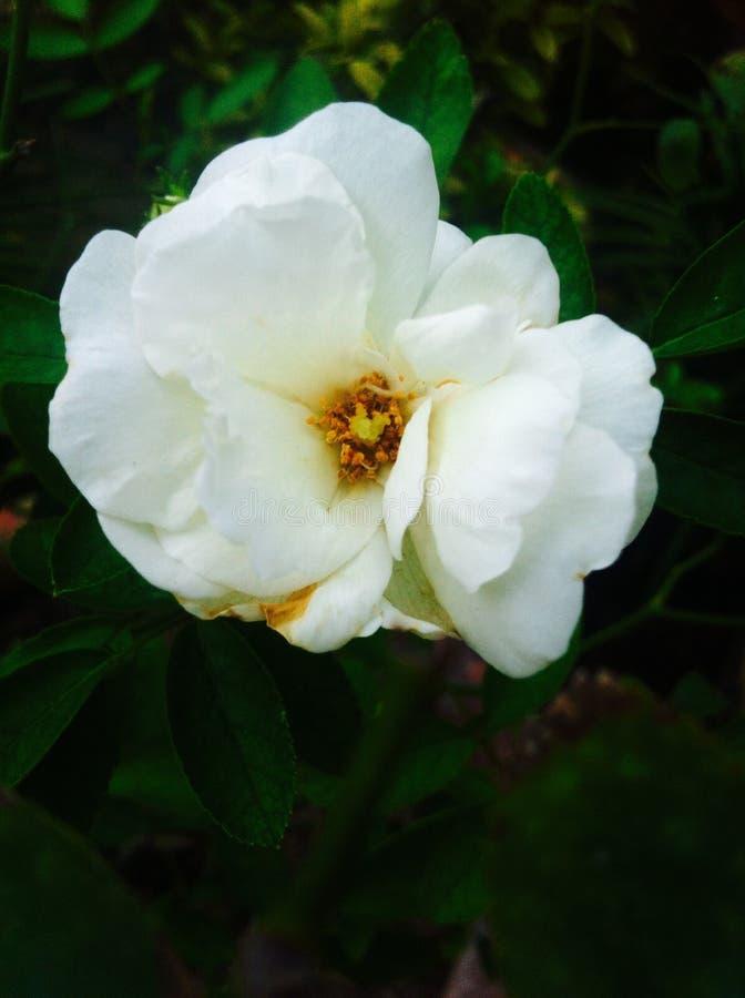 Uma beleza das rosas foto de stock