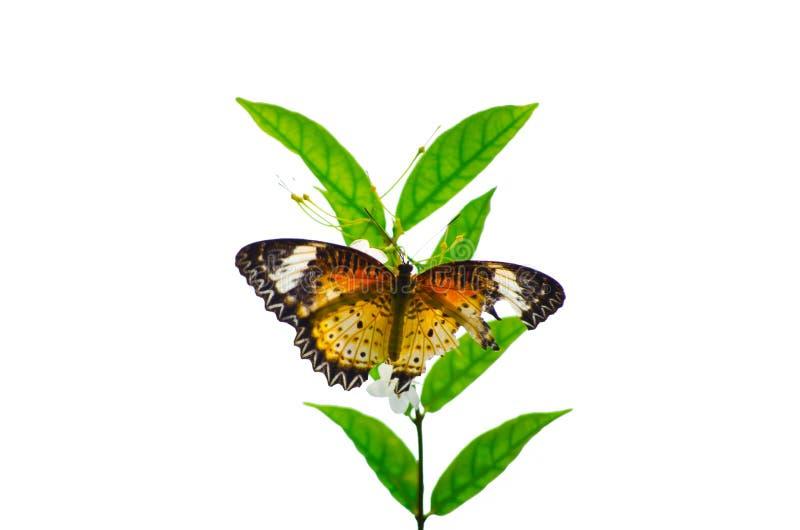 Uma borboleta alaranjada da asa quebrada empoleirou-se em um ramo verde da árvore isolado no fundo branco fotografia de stock