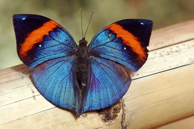 Uma borboleta azul brilhante fotografia de stock