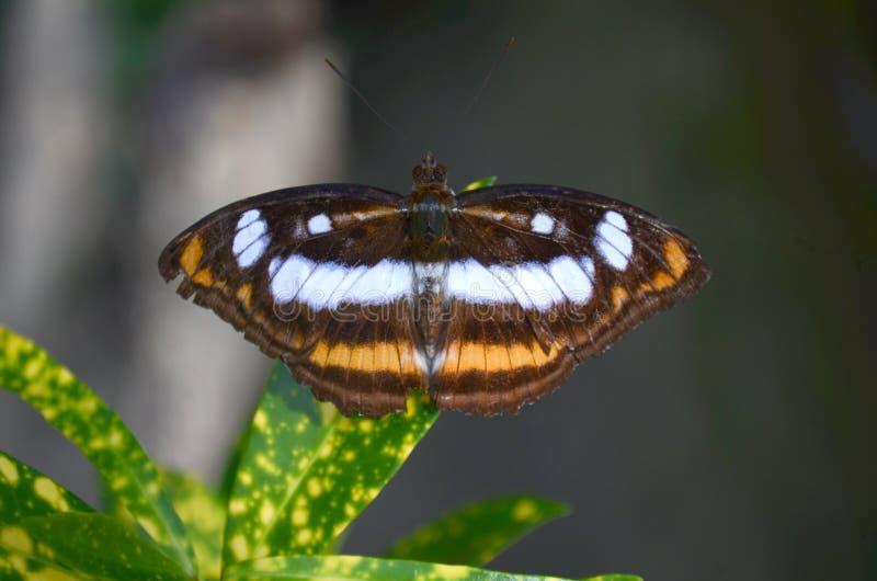 Uma borboleta bonita com Mark abstrato em suas asas imagens de stock royalty free