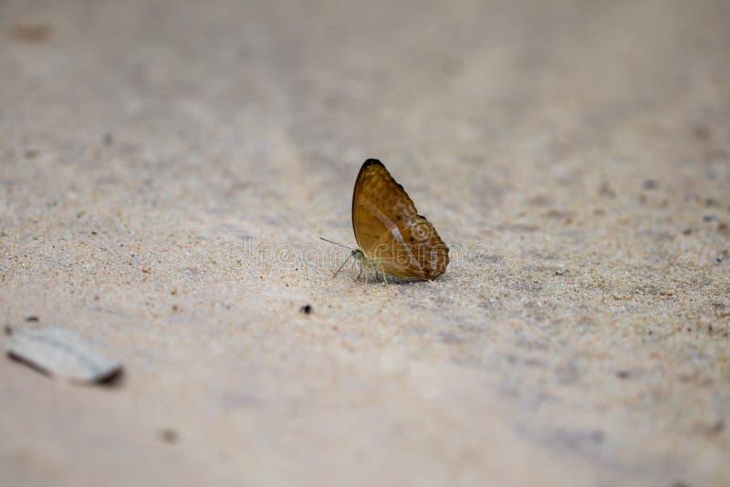 Uma borboleta bonita da floresta foto de stock