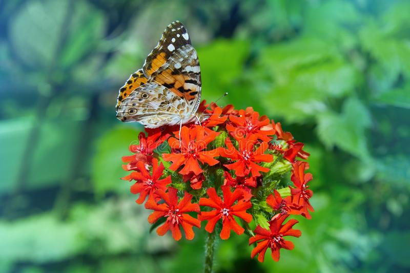 Uma borboleta bonita está sentando-se na flor Chalcedonica de Lychnis imagem de stock
