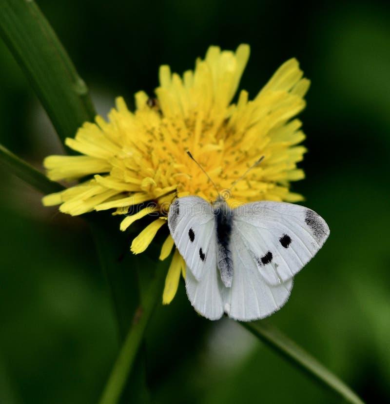 Uma borboleta branca da couve fotos de stock