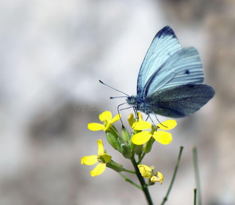 Uma borboleta coleta o néctar em uma flor amarela imagens de stock