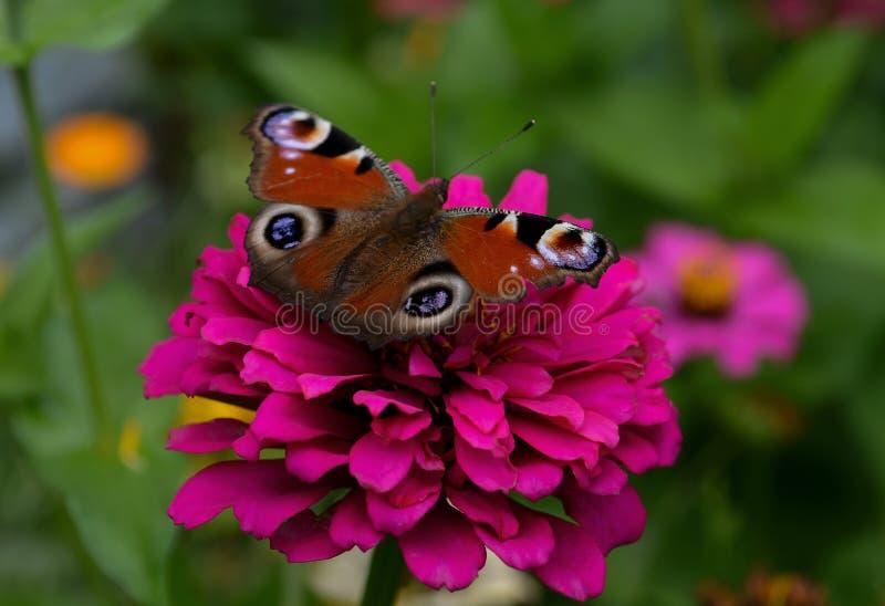 Uma borboleta com uma cor brilhante bonita está sentando-se em uma flor cor-de-rosa contra um fundo colorido de um jardim fotografia de stock royalty free
