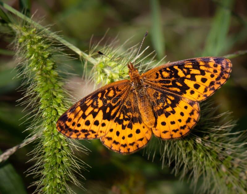 Uma borboleta crescente de pérolas em algumas plantas num campo oriental fotografia de stock royalty free