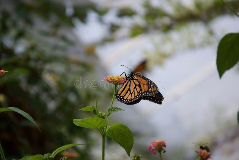 Uma borboleta da laranja, a amarela e a preta com as asas fechados que sorvem de uma flor imagem de stock