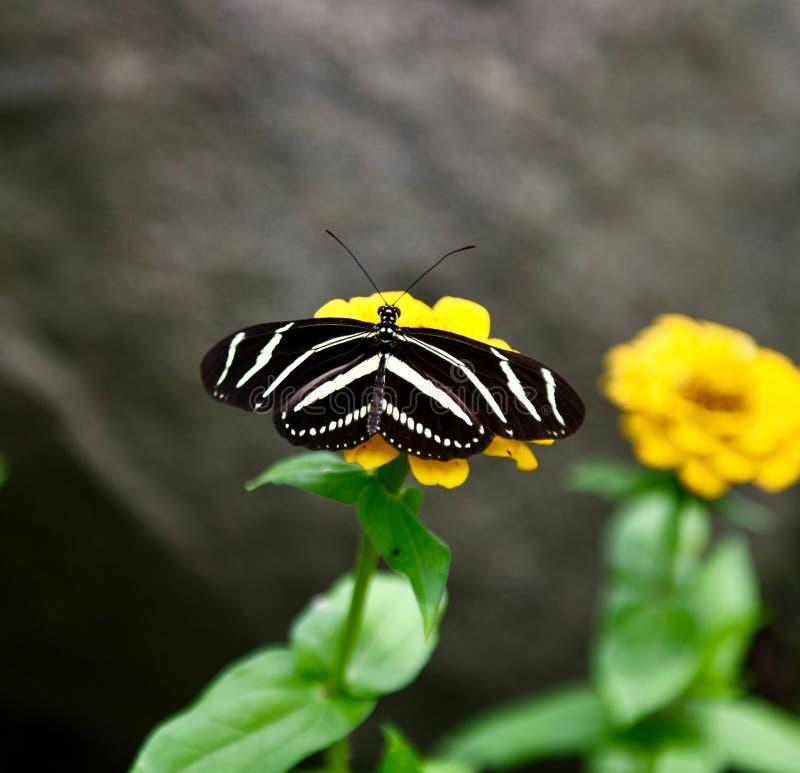 Uma borboleta da zebra fotografia de stock royalty free