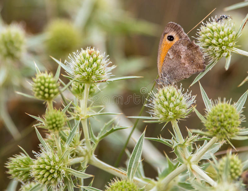 Uma borboleta de Brown do prado no cardo foto de stock