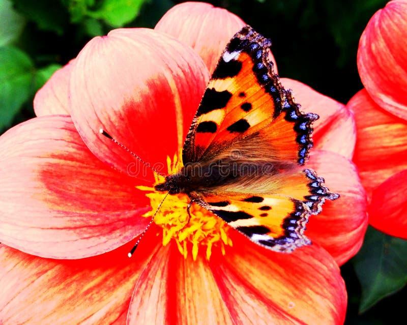 Uma borboleta de concha de tartaruga pequena empoleirou-se em uma dália coral-colorida fotos de stock