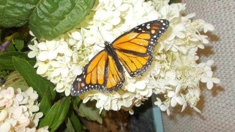 Uma borboleta de monarca em uma flor branca imagem de stock