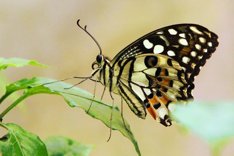 Uma borboleta do cal fotos de stock royalty free