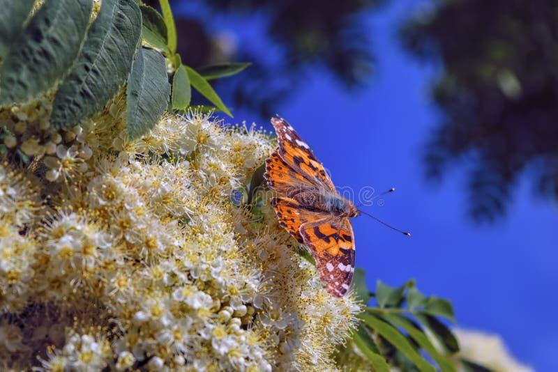 Uma borboleta em um close-up de floresc?ncia do ramo de Rowan foto de stock