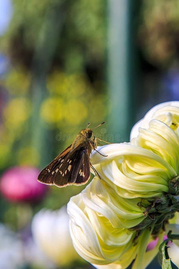 Uma borboleta em uma margarida imagens de stock