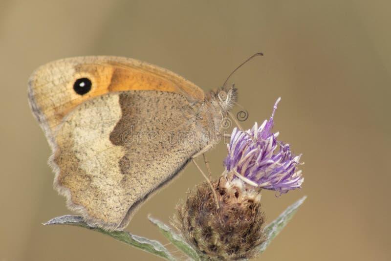 Uma borboleta marrom e alaranjada na terra comum de Southampton fotos de stock
