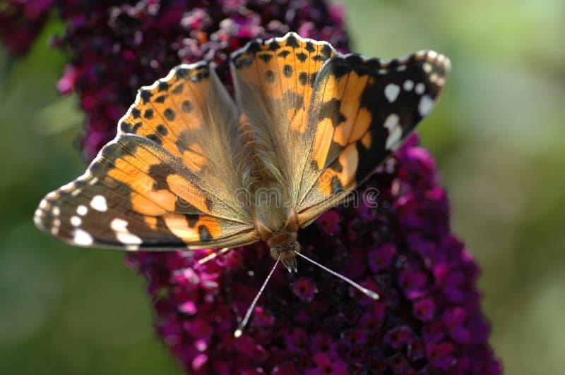 Uma borboleta pintada da senhora foto de stock