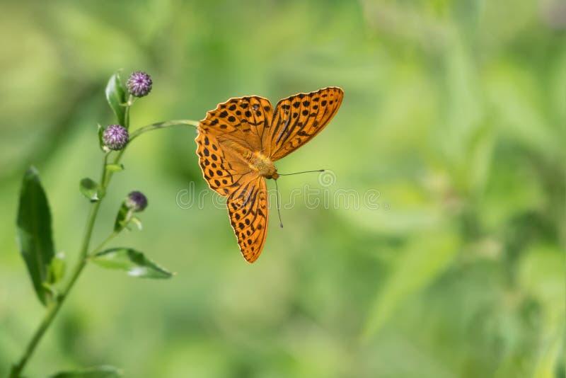 Uma borboleta Prata-lavada do fritillary que senta-se em uma flor imagens de stock royalty free