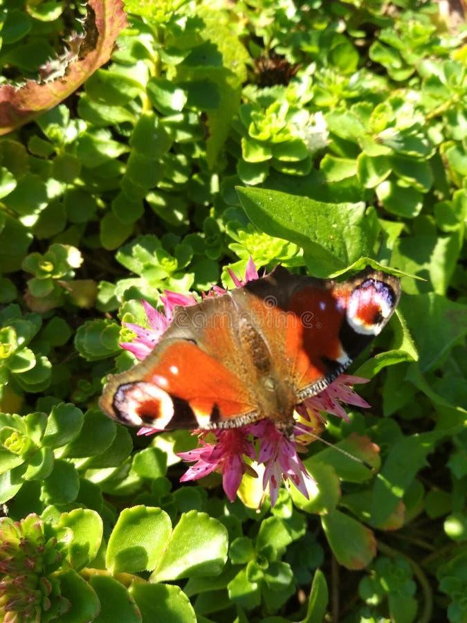 Uma borboleta que senta-se em uma flor imagens de stock royalty free