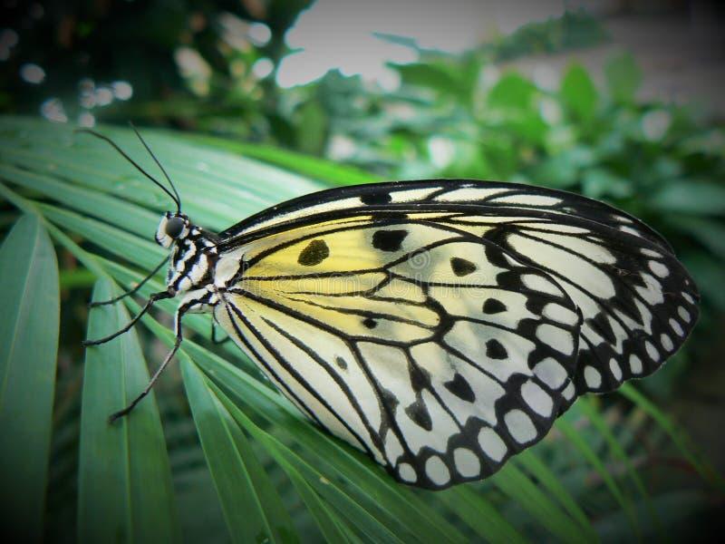Uma borboleta tropical de Malajsia fotografia de stock royalty free