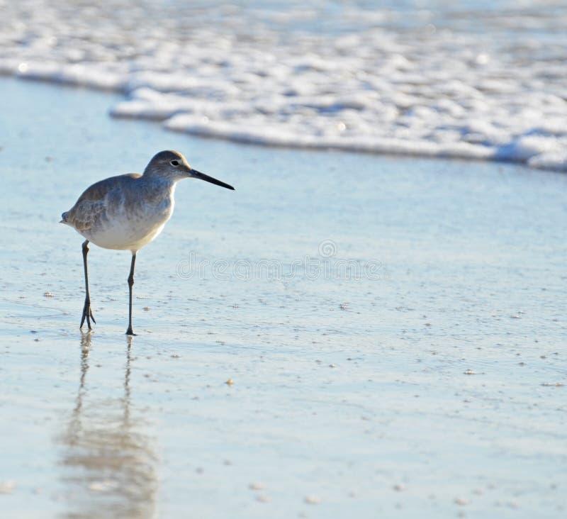 Uma caça curto americana do pássaro do borrelho do dowitcher da conta ao longo da areia coberta seafoam imagem de stock