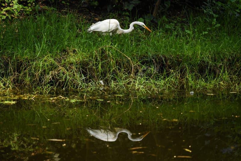 Uma caça da garça-real no rio fotografia de stock royalty free